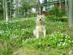 Härliga Alice bland alla vitsippor j Hemlinge. Munktorp. Kortet är tagit av min svåger Birger Elofsson som bor där med min syster Inga-lill och kattor och skogens alla djur. Alice är en blandras och en underbar hund.