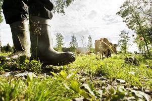 UTAN EGEN MARK. Marker vida kring – bland annat i naturreservatet i Gysinge – har månskensbonden Anders Nilsson att stövla sig fram igenom vid tillsynen av sina djur.