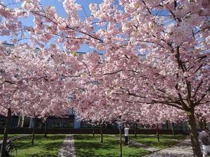 Körsbärsträden blommar i Hammarby Sjöstad.