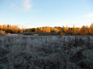 Jag var ute jättetidigt en frostmorgon när solen knappt orkade upp.Det blev en läcker kontrast mellan de lysande gula träden och den frusna marken.