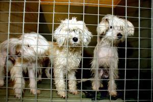 Chinese crested dog. Toviga och smutsiga fick de upphittade nakenhundarna vila upp sig på ett hundpensionat genom polisens försorg. Arkivbild