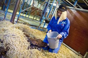 Efter att vi tvättat av den nyfödda kalven får jag mata den med råmjölk. Det är viktigt att kalven snabbt får i sig råmjölk från mamman för att den ska kunna bygga upp ett bra immunförsvar.