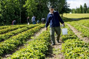 Lars Nilsson ska börja på en ny rad i jordgubbslandet. Han tycker att det är synd att det är sista året för Överå Bärodling.