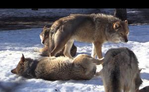 De här vargarna är från Järvzoo i Hälsingland.