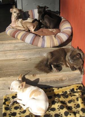 Våra djur älskar sol och sommar. Så det gäller att få ut det sista av varma solstrålar. Här i kanten av trappan lyser den hela förmiddagen. Två Vinthundar, en chihuahua, och så Kitty - katten, som är rätt säker på att hon oxå är en hund.
