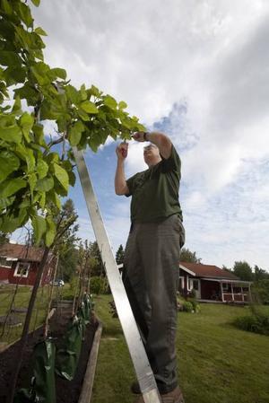 Över 1000 träd odlas upp, en del på Eskön, en del på Nordplant. Ricky Morelli sköter om en Sicksackmulbär på Eskön.