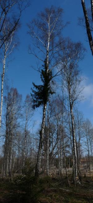 Kan det här trädet möjligen kallas Björkgran? Det är ingen synvilla utan björken har verkligen grenar som på en gran mitt på.