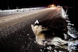 Den här älgen dog omedelbart när den blev på påkörd av en personbil på riksväg 87 i höjd med Lungre i januari ifjol.