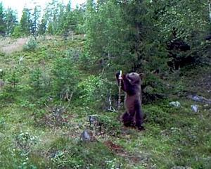 Lars Hedmans kamera vid saltstenen innehöll en sekvens om en björn på platsen när den undersöktes förra fredagen.