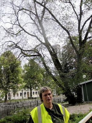 Bot finns inte. Löven är gula och trädet på väg att vissna, visar driftsingenjör Ann Jannerman. Foto: britt-louise bergström