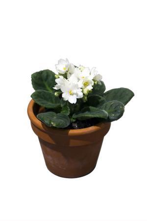 Tanten vill ha saint paula på fönsterbrädan. Blomman lever i många år eftersom tanten pratar med den och ständigt plockar bort vissna blad.