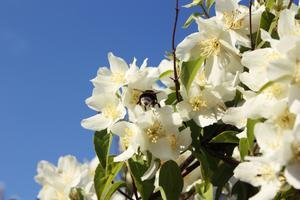 En fin sommardag för några veckor sen. Då Jasmin busken blommade som mest och humlorna va hungriga!