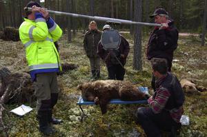 Efter provtagningen vägdes björnarna.
