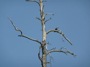 En kråka har slagit sig ner på en gren i en gammal död tall.