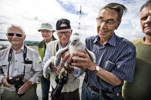 Ännu en häckning med pilgrimsfalk i Västerås, den andra på över 60 år, till stor glädje för Sten-Ove Sandell, Anders Nyhlén, Lennart Urby och Erik Westman. Lars Leksén skymtar till höger i bild.