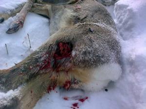 SKADOR. Det skadade rådjuret hade djupa sår efter attacken.