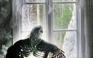 Ugglan gjorde förtvivlade försök att ta sig genom fönsterglaset och hade rivit gardinerna till strimlor under upprepade flyktförsök. Foto: Gubb Jan Stigson
