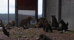 Grannar. En inspektionsrond i hägnet var det första björnarna gjorde när de lämnade idet. Samtidigt passade man på att hälsa på grannarna Nora, Nelly och Pablo.