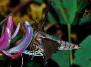 Söndagen den 11 Juli på kvällen såg vi den här konstiga insekten på vår kaprifol (blomma) vid trappan. Vet ni vad det är? Vi har aldrig sätt något liknande.MVHFamiljen Öst