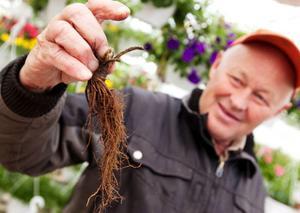 """""""Vi har fått pröva oss fram för att se om plantsorten passar och vilken sorts näring som är bäst. Men att de skulle mogna redan till pingst, det trodde vi inte"""", säger Jan Moberg."""