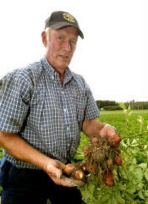 En del av plantorna ser ut att må bra men när Åke Vedin tar upp dem visar han att potatisarna är helt vitprickiga vilket visar på kvävningsskada.