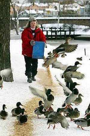 Utöver sitt heltidsjobb ser Ninni Tengqvist till att änderna i Stadsträdgården får mat.\n- Jag tycker att kommunen ska stå för matkostnaden eftersom det är kommunen som har vant dem att bli matade, säger hon. Foto: LASSE HALVARSSON\n