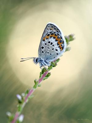 En blåvingefjäril.