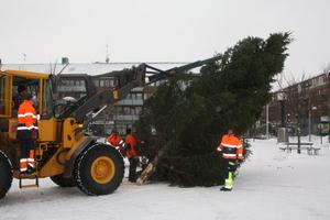 Med hjälp av en kranförsedd traktor och fyra personer på marken restes granen på Kumla torg. Bild: JAN WIJK