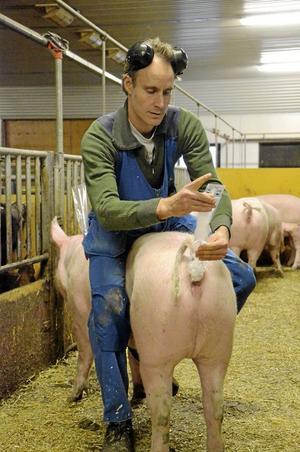 Barn. Ludvig Nilsson inseminerar en av suggorna på grisgården. Det tar ett par minuter och görs utan något större motstånd från de brunstiga djuren.
