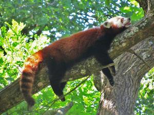 Det var en varm dag i djurparken i Eskilstuna och djuren var slöa av värmen. Här tar den röda pandan en tupplur uppe i trädet. Visst har han en skön och avslappnad stil!?