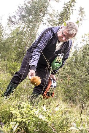 Tommy Olofsson, Bollnäs, gör ett av många fynd i den svamprika skogen. Hans favorit är mandelriskan.