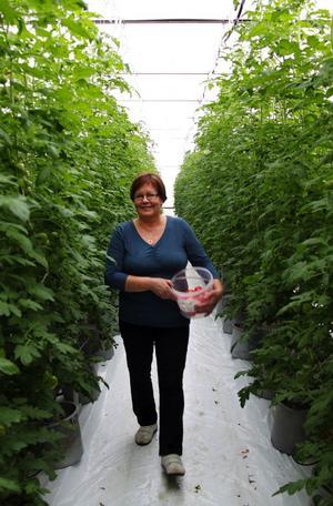 Lea Hörnström vandrar i gångarna mellan de resliga tomatplantorna.
