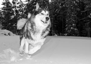 Bilden tagen i januari på en äng i närheten av Svartsjöarna.Fotade egentligen lite annat men släppte lös vår Alaskan malamute, Nayak så att han fick springa av sig lite, men han bestämde sig för att istället springa förbi min kamera flera gånger och det här blev den bästa bilden.