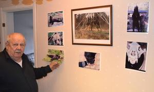 Här på väggen har Sture Eriksson bilder på den björn som kunde ha blivit hans öde. Björnen sköts ett år efter att Sture mött honom på nära håll.