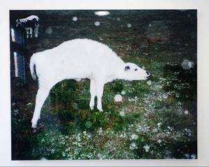 My Hellsten har varit med när kalvar upplevt snö för första gången.– Det har varit ett projekt där jag verkligen längtat efter att hänga med korna och fotografera, säger My Hellsten.