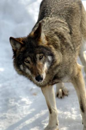 Lo, björn, varg och järv, livsfarliga rovdjur i våra skogar som faktiskt kan döda en människa.