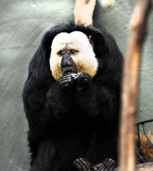 Nybliven pappa. Den coola sakiapan Karikou har charmat djurskötare och besökare. Aporna lever i Sydamerika, men är utrotningshotade. Honan och hanens utseende skiljer sig rätt mycket åt.