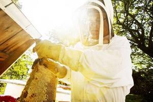 Kaklyft. Matias Köping lyfter ur en av vaxkakorna från bikupan.
