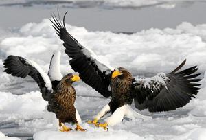 Fåglarna genomgick en explosiv utveckling när dinosaurierna dog ut. På bilden jättehavsörnar i Japan.