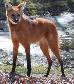 Vuxen. Här en vuxen manvarg - där de styltlånga benen syns tydligt.