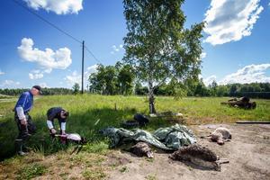 Västkärr. Den 12 juni bet en varg ihjäl fyra får och skadade ytterligare 14 som sedan fick avlivas. Länsstyrelsen har beslutat om skyddsjakt på vargen.