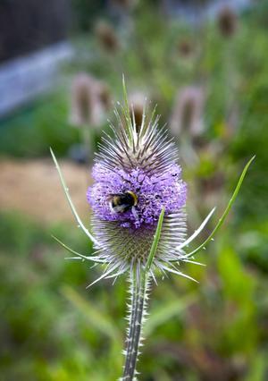 Taggig skönhet. Vävarkarda, en växt som förr användes till att karda ull.