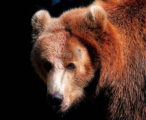 Länsstyrelsen rapporterar varje dag via sin telefonsvarare hur stor tilldelning av björn som finns kvar i länet.