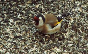 – Steglitsa, en vacker och ovanlig fågel i Härjedalen fanns i Linsell under några dagar.Foto: Göran Östh