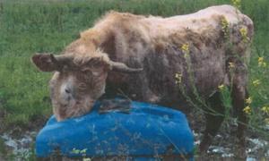 Törstig och hårlös ko, med spår av fasttorkad gödsel.