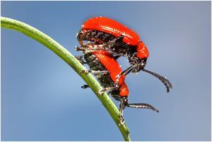 Parande liljebaggar.