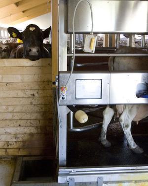 Att vänja korna vid mjölkningsrobot har inte skett friktionsfritt, men nu har de börjat förstå finessen med en ständigt närvarande mjölkare.