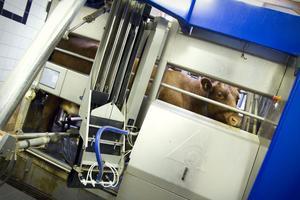 I den stora mjölkroboten går korna in och blir mjölkade automatiskt. Den kan visa exakt hur mycket varje ko mjölkar, och hur ofta.