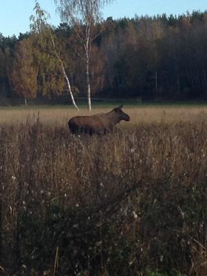 Älgarna de drivs ur skogen ut på vägarna, men de är också vackra titta på dessa mäktiga djur.