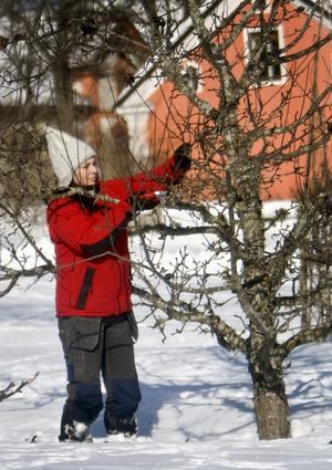 beskära äppelträd vårvinter